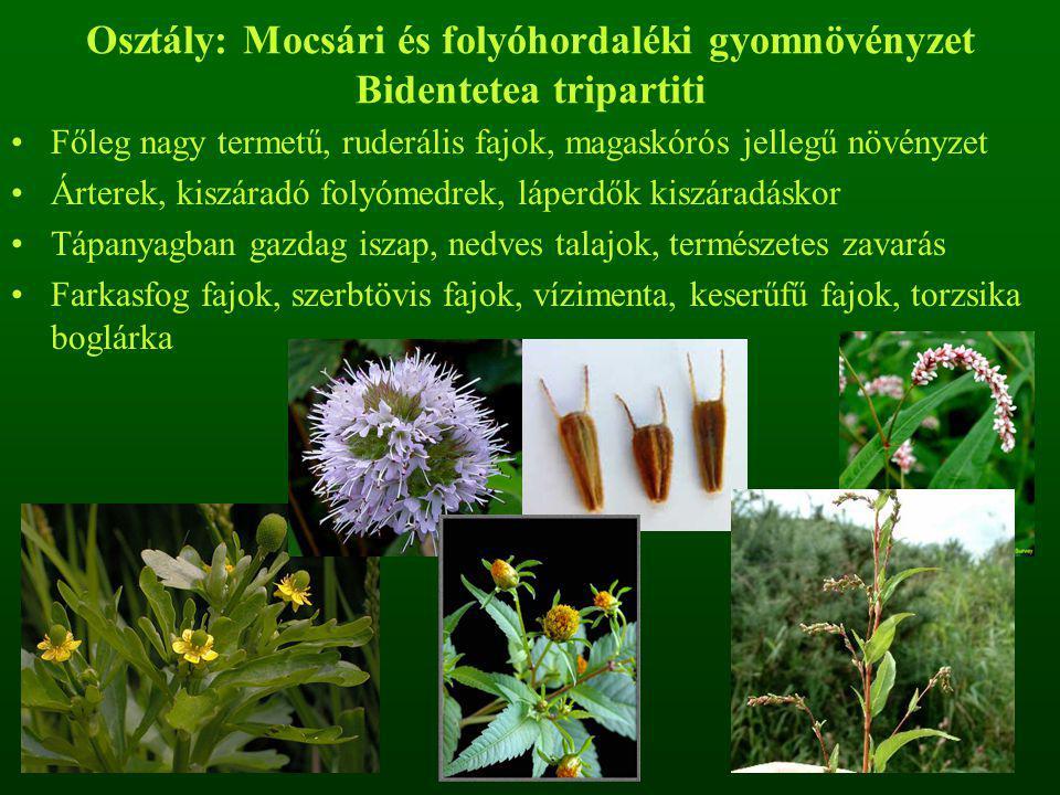 Osztály: Mocsári és folyóhordaléki gyomnövényzet Bidentetea tripartiti