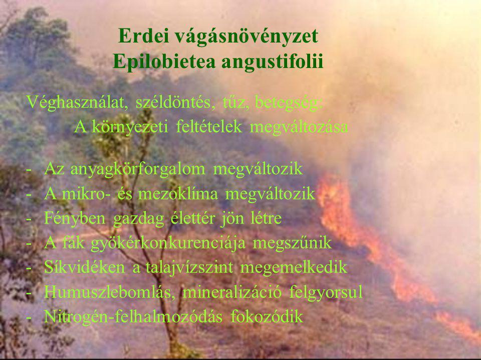 Erdei vágásnövényzet Epilobietea angustifolii