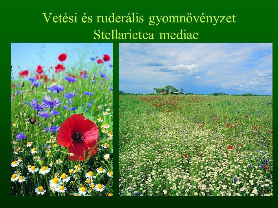Vetési és ruderális gyomnövényzet Stellarietea mediae