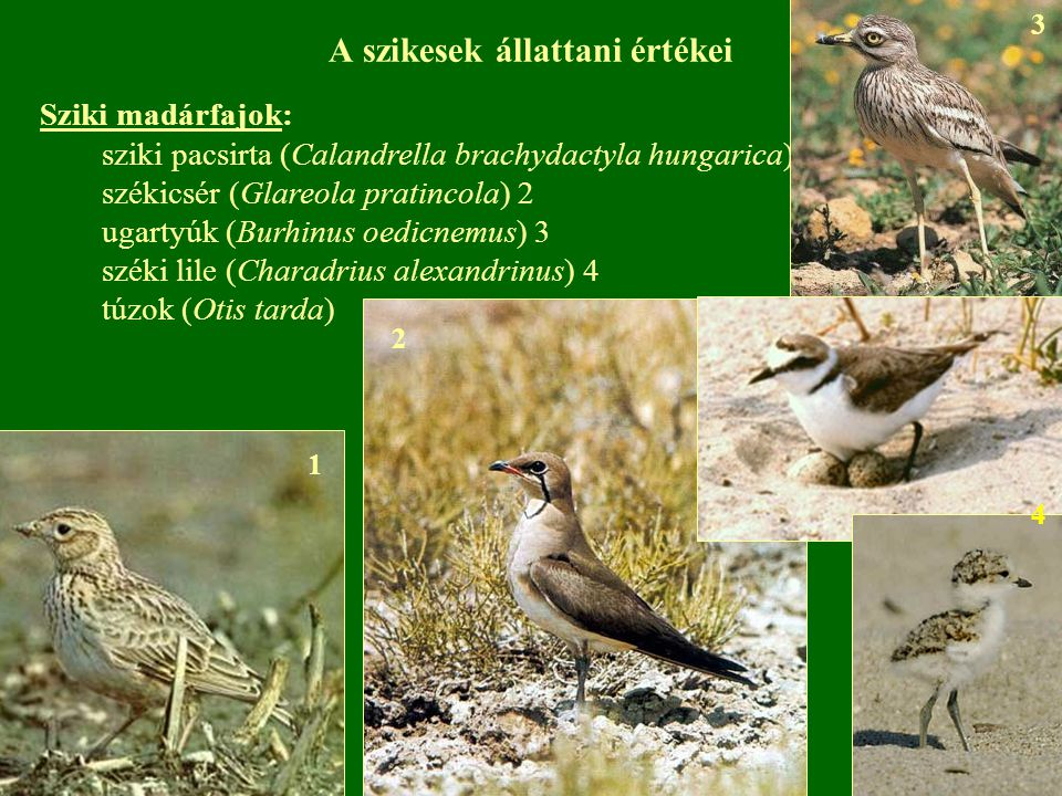 A szikesek állattani értékei