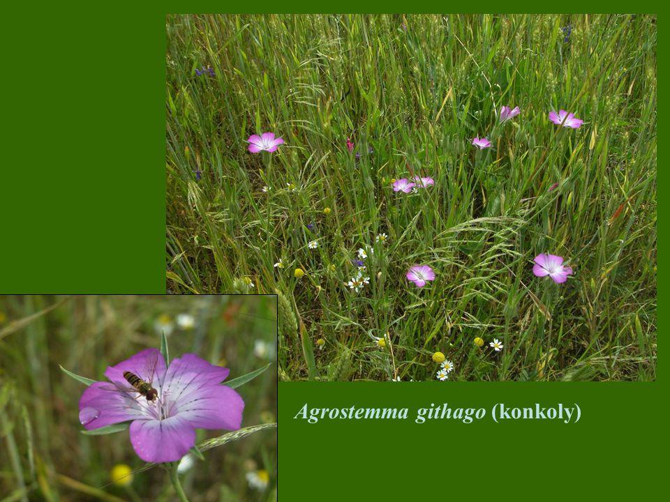 Agrostemma githago (konkoly)