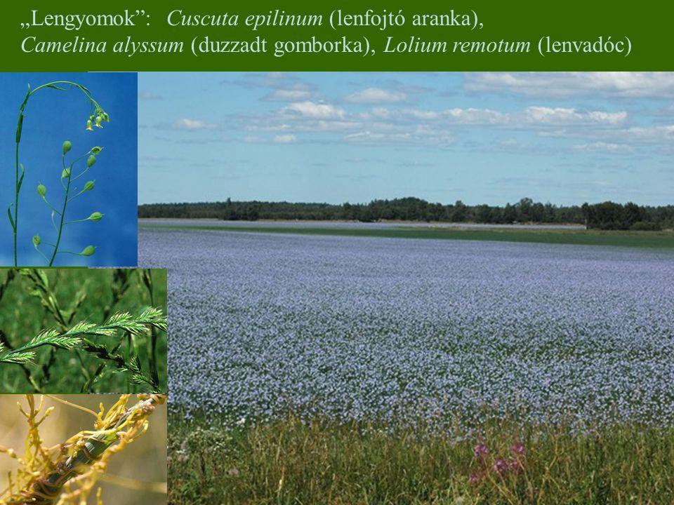 """Lengyomok : Cuscuta epilinum (lenfojtó aranka),"