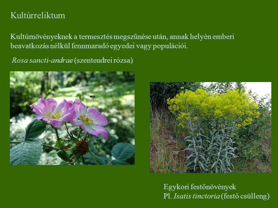 Kultúrreliktum Kultúrnövényeknek a termesztés megszűnése után, annak helyén emberi beavatkozás nélkül fennmaradó egyedei vagy populációi.