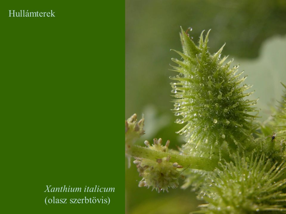 Hullámterek Xanthium italicum (olasz szerbtövis)
