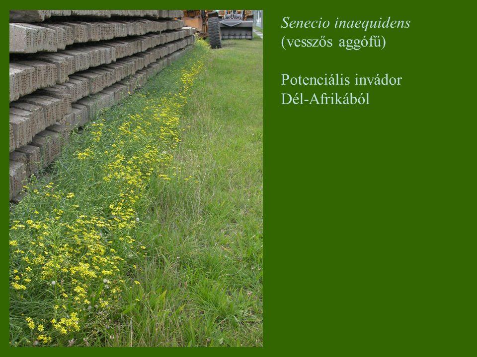 Senecio inaequidens (vesszős aggófű) Potenciális invádor Dél-Afrikából