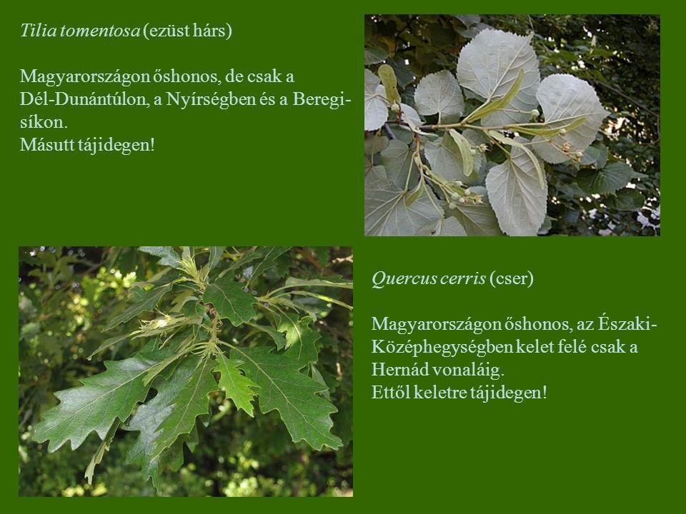 Tilia tomentosa (ezüst hárs)