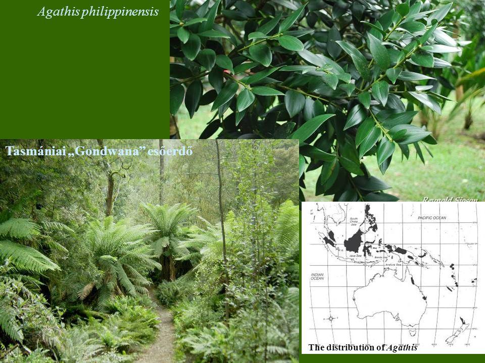 Agathis philippinensis