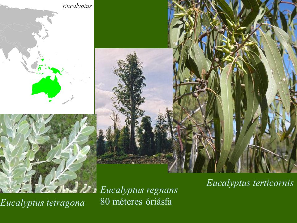 Eucalyptus terticornis Eucalyptus regnans 80 méteres óriásfa