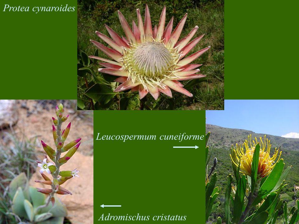 Protea cynaroides Leucospermum cuneiforme Adromischus cristatus