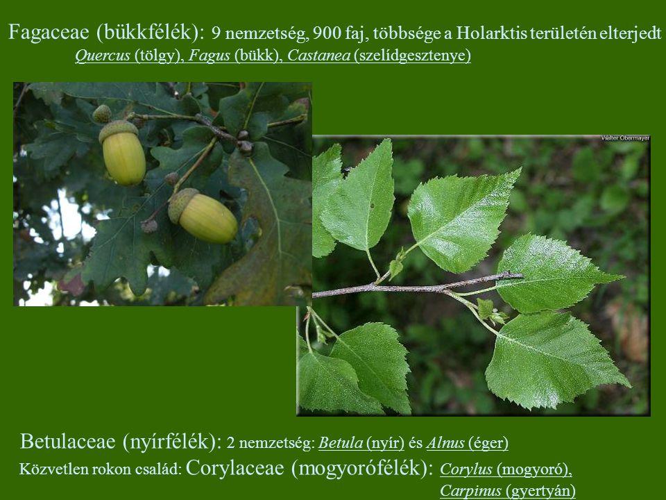 Betulaceae (nyírfélék): 2 nemzetség: Betula (nyír) és Alnus (éger)