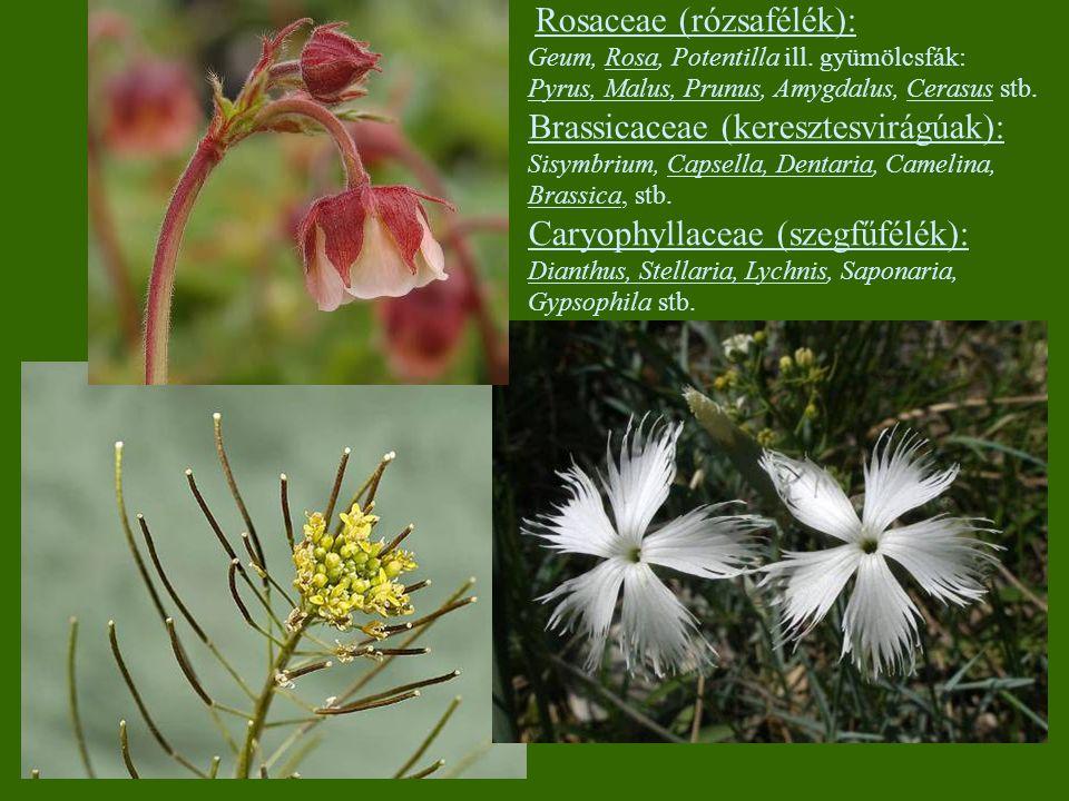 Brassicaceae (keresztesvirágúak):