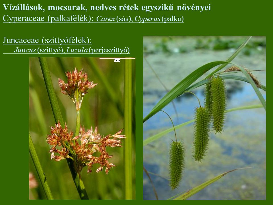 Vízállások, mocsarak, nedves rétek egyszikű növényei
