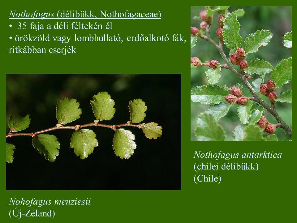 Nothofagus (délibükk, Nothofagaceae)