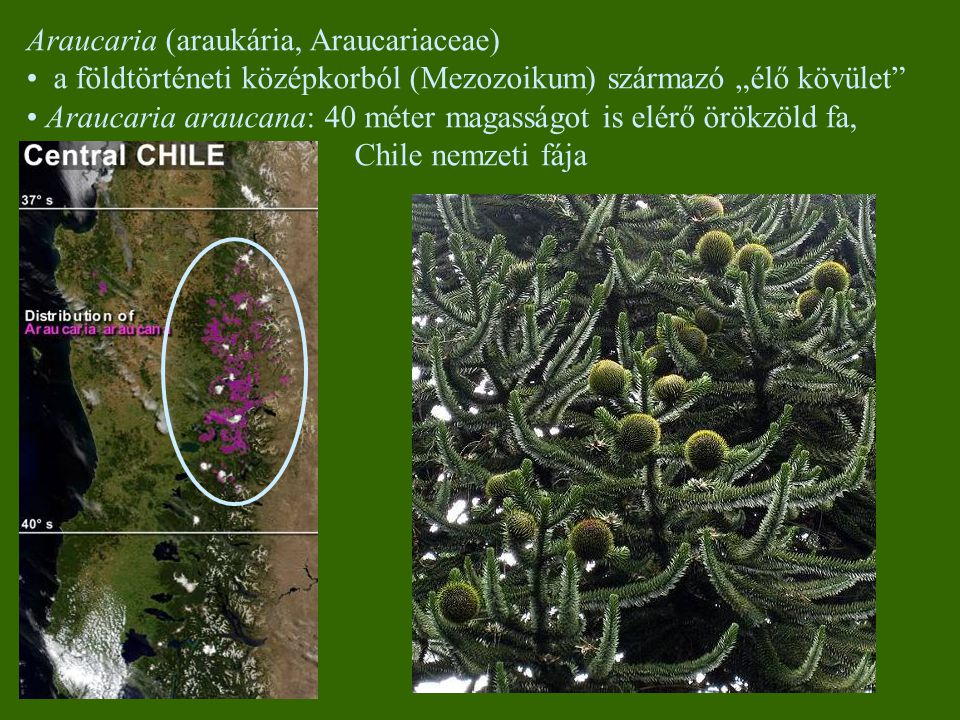 Araucaria (araukária, Araucariaceae)