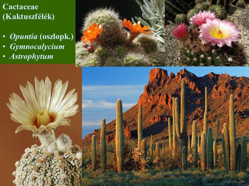 Cactaceae (Kaktuszfélék) Opuntia (oszlopk.) Gymnocalycium Astrophytum