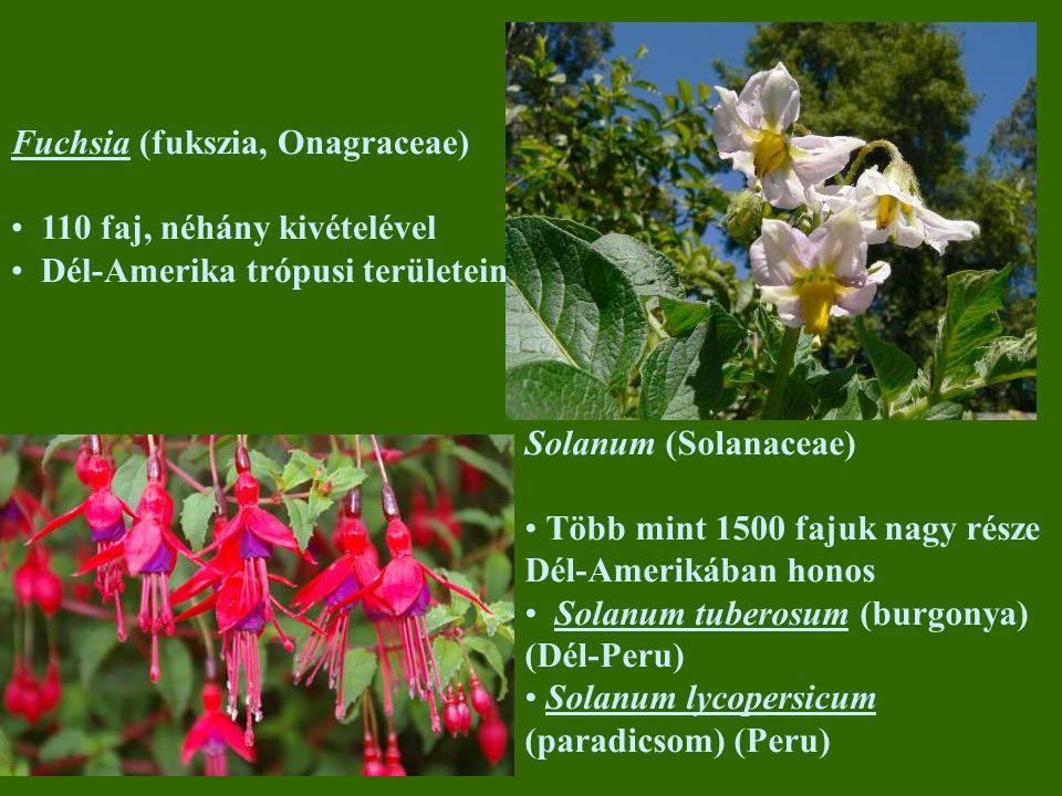 Fuchsia (fukszia, Onagraceae)