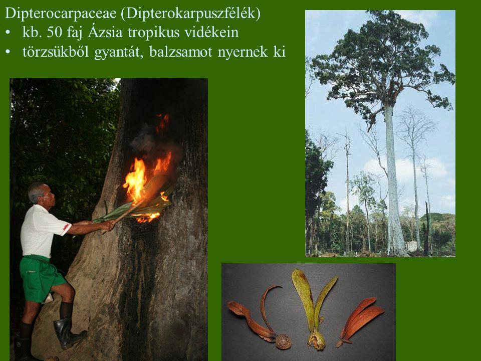 Dipterocarpaceae (Dipterokarpuszfélék)