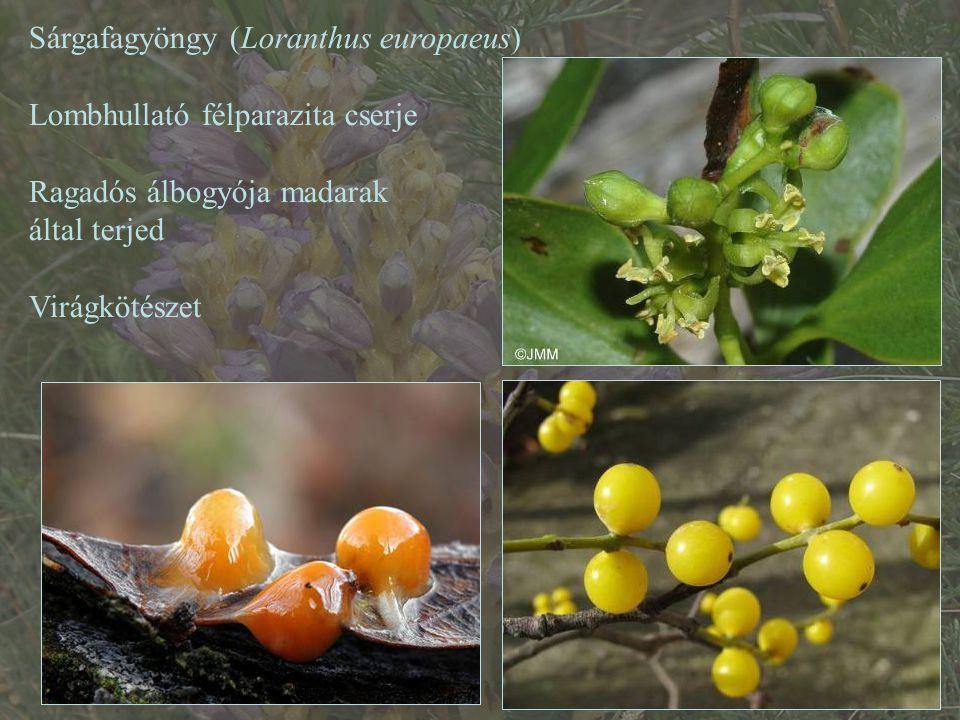 Sárgafagyöngy (Loranthus europaeus)
