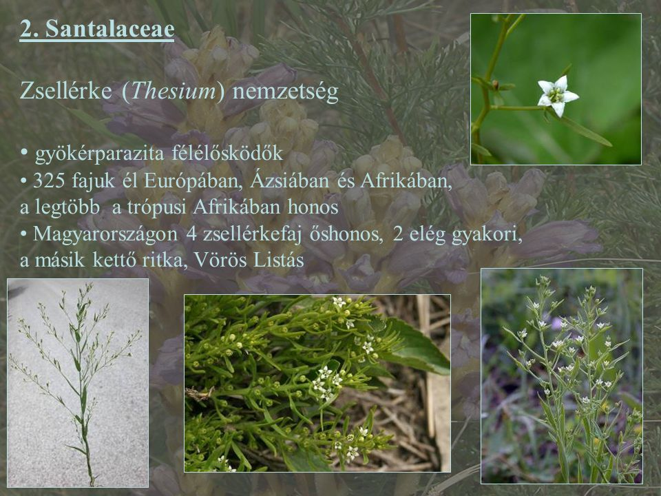 Zsellérke (Thesium) nemzetség gyökérparazita félélősködők