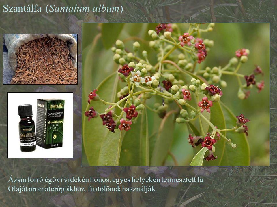 Szantálfa (Santalum album)