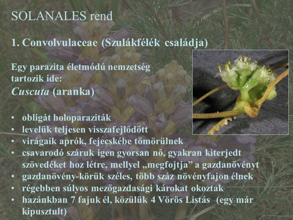 SOLANALES rend Convolvulaceae (Szulákfélék családja) Cuscuta (aranka)