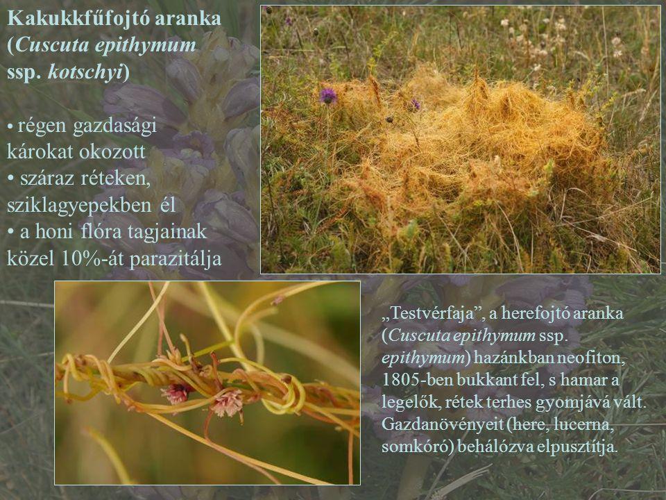 (Cuscuta epithymum ssp. kotschyi)