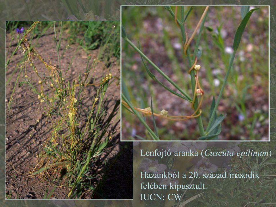 Lenfojtó aranka (Cuscuta epilinum)