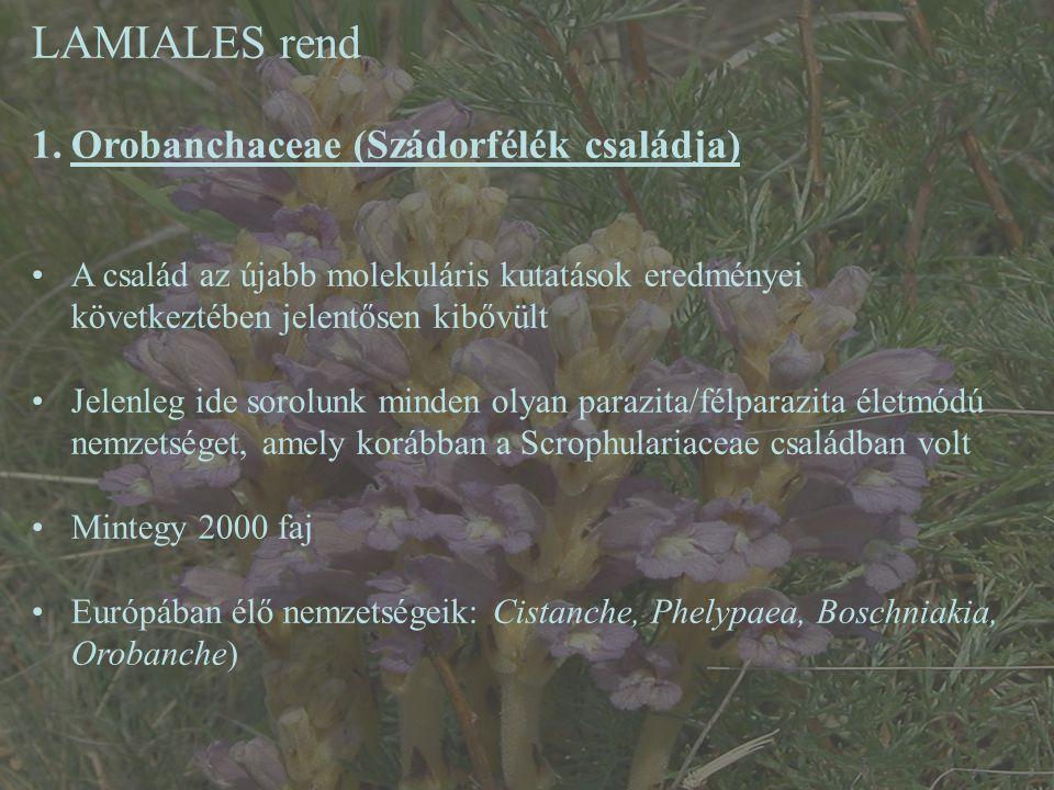 LAMIALES rend Orobanchaceae (Szádorfélék családja)