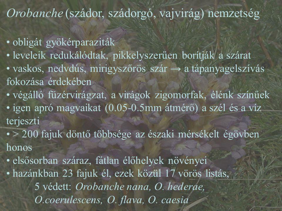 Orobanche (szádor, szádorgó, vajvirág) nemzetség
