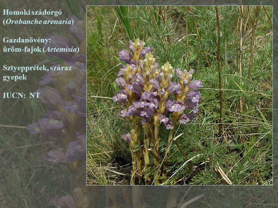 Homoki szádorgó (Orobanche arenaria) Gazdanövény: üröm-fajok (Artemisia) Sztyepprétek, száraz. gyepek.