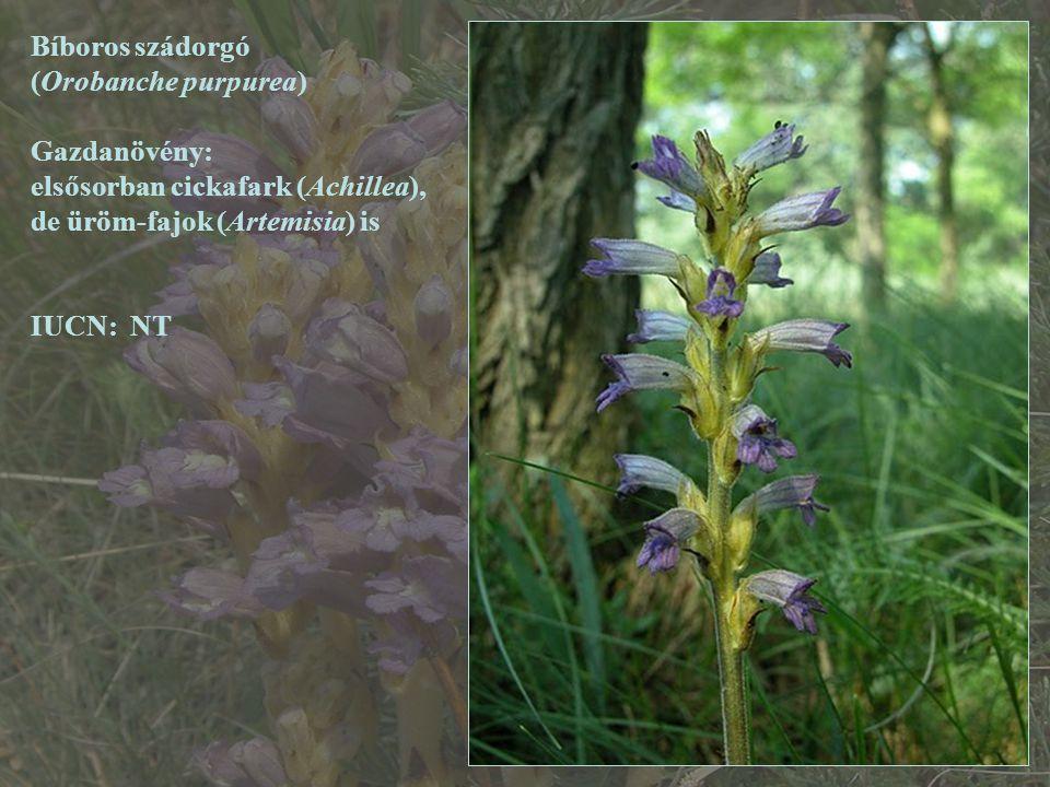 Bíboros szádorgó (Orobanche purpurea) Gazdanövény: elsősorban cickafark (Achillea), de üröm-fajok (Artemisia) is.