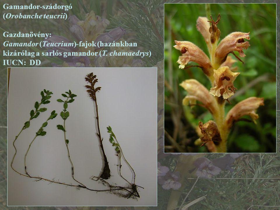Gamandor-szádorgó (Orobanche teucrii) Gazdanövény: Gamandor (Teucrium)-fajok (hazánkban kizárólag a sarlós gamandor (T. chamaedrys)