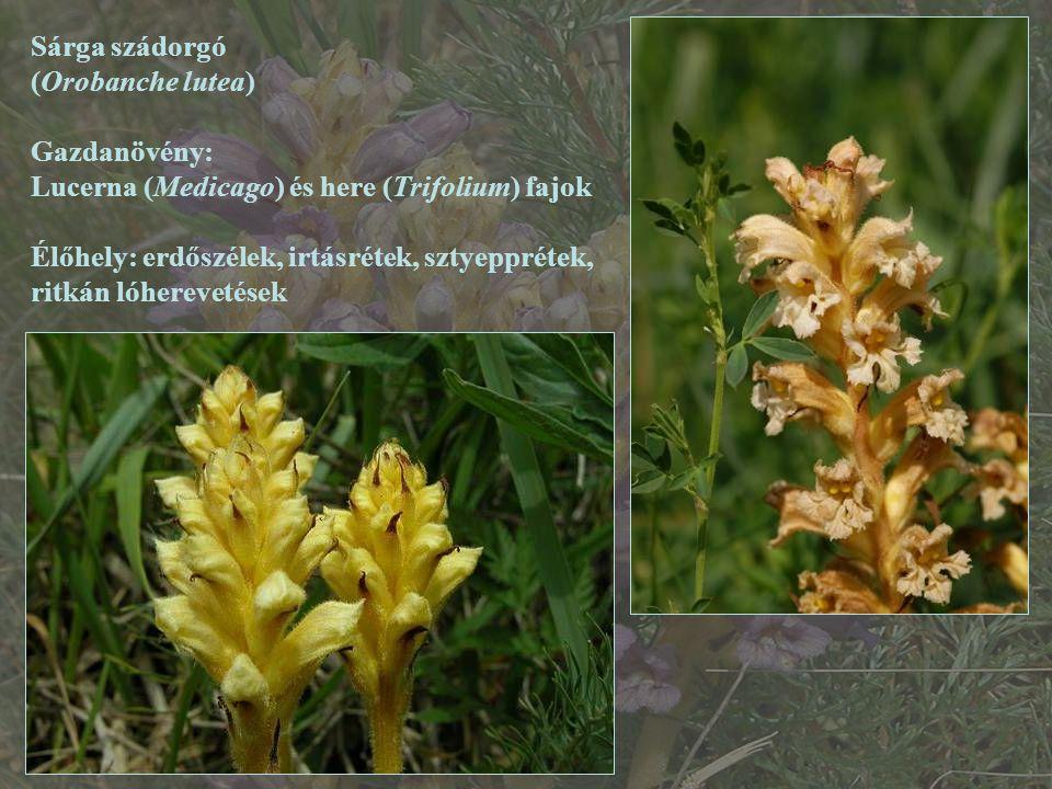 Sárga szádorgó (Orobanche lutea) Gazdanövény: Lucerna (Medicago) és here (Trifolium) fajok.