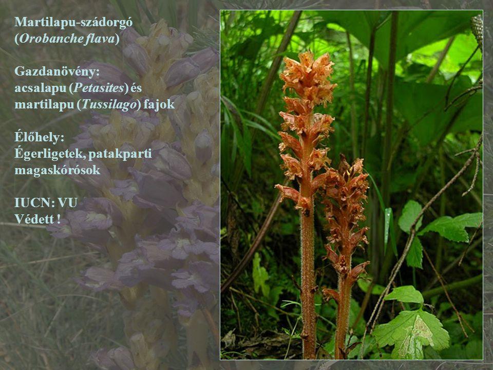 Martilapu-szádorgó (Orobanche flava) Gazdanövény: acsalapu (Petasites) és. martilapu (Tussilago) fajok.