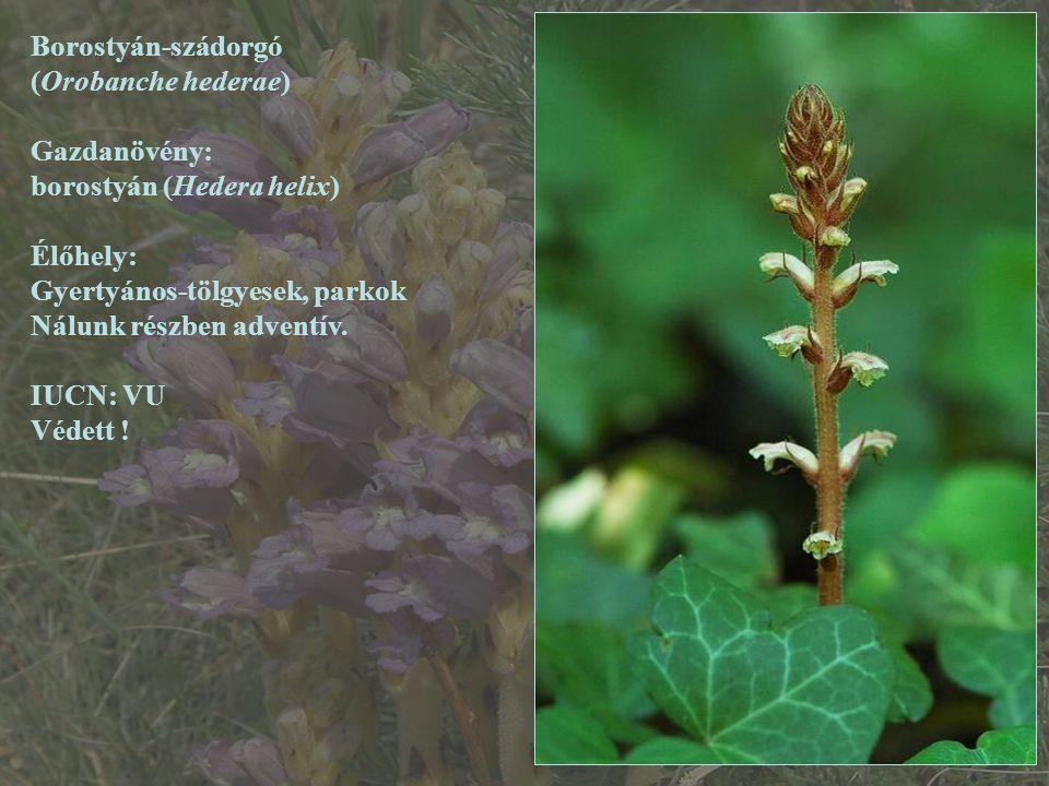 Borostyán-szádorgó (Orobanche hederae) Gazdanövény: borostyán (Hedera helix) Élőhely: Gyertyános-tölgyesek, parkok.