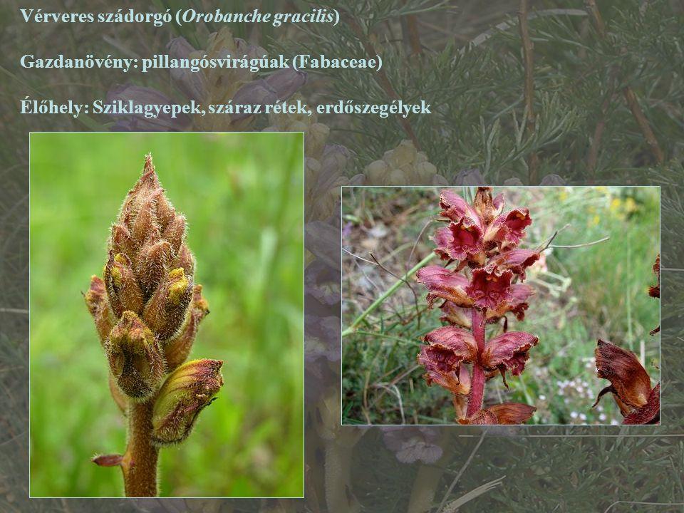 Vérveres szádorgó (Orobanche gracilis)
