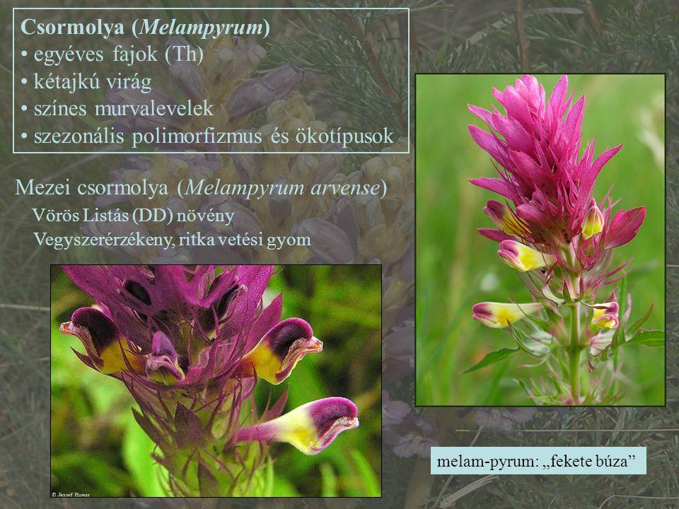 Csormolya (Melampyrum) egyéves fajok (Th) kétajkú virág