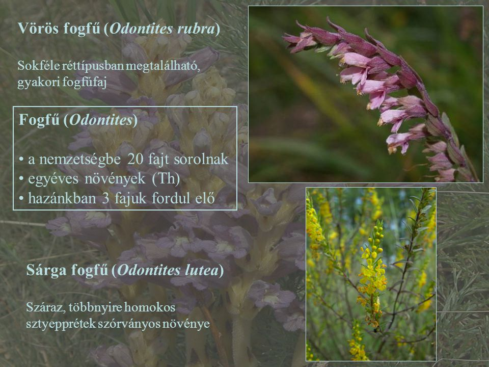 Vörös fogfű (Odontites rubra)