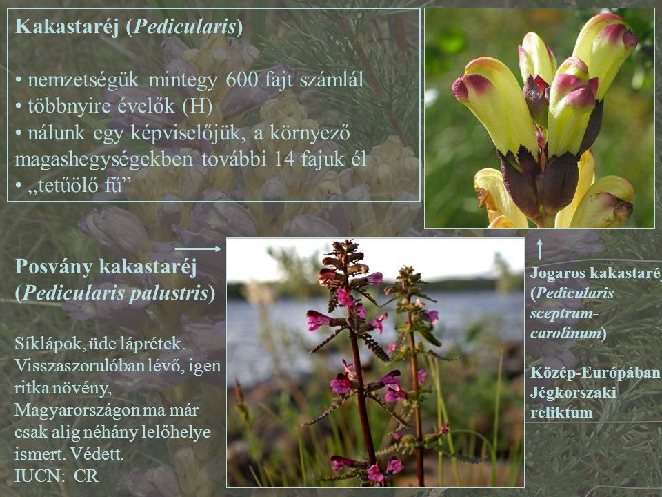 Kakastaréj (Pedicularis) nemzetségük mintegy 600 fajt számlál