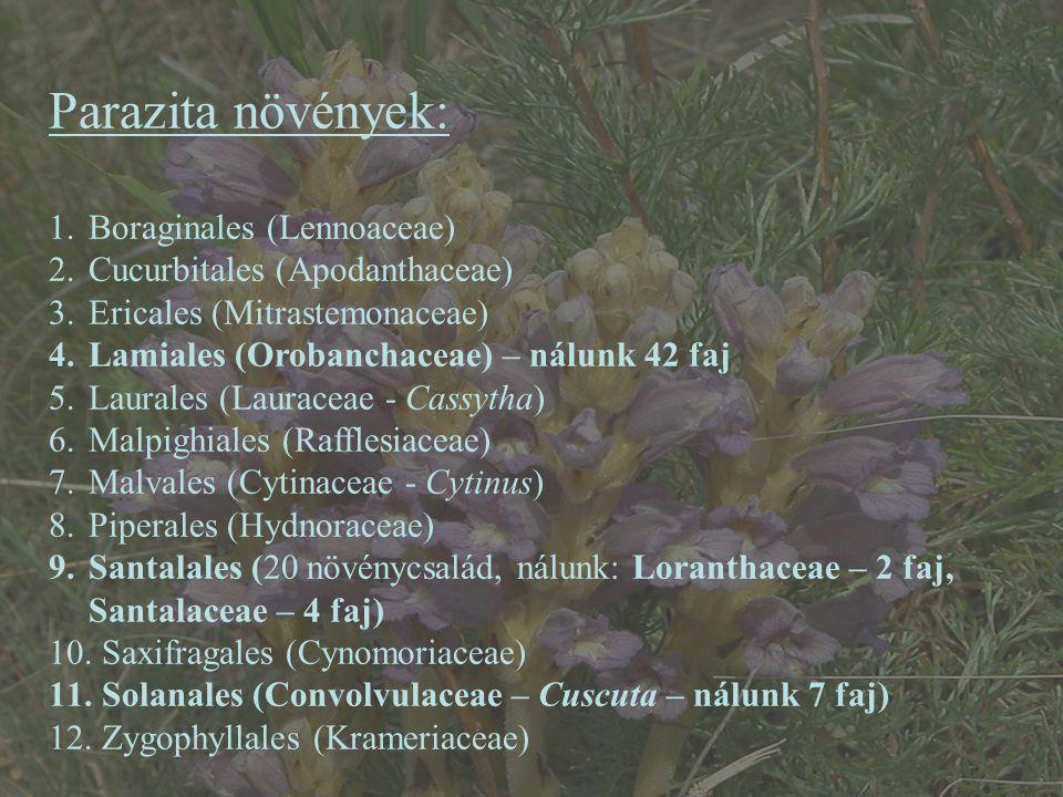Parazita növények: Boraginales (Lennoaceae)
