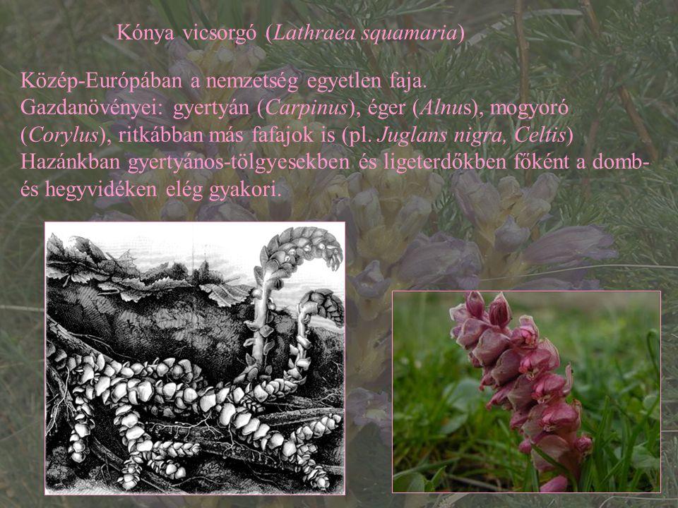 Kónya vicsorgó (Lathraea squamaria)
