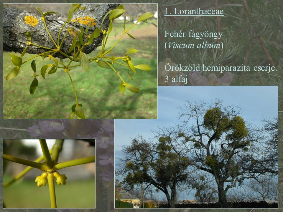 1. Loranthaceae Fehér fagyöngy (Viscum album) Örökzöld hemiparazita cserje. 3 alfaj