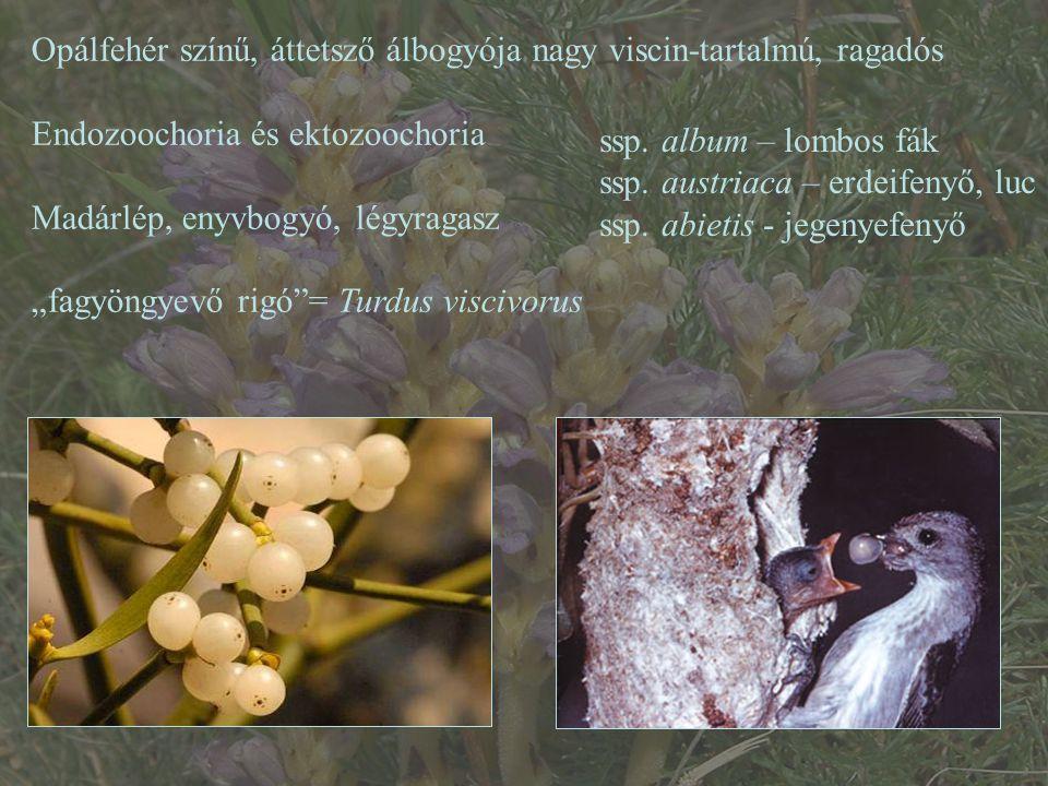 Opálfehér színű, áttetsző álbogyója nagy viscin-tartalmú, ragadós