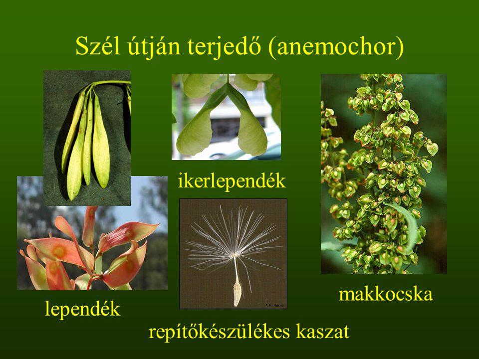 Szél útján terjedő (anemochor)