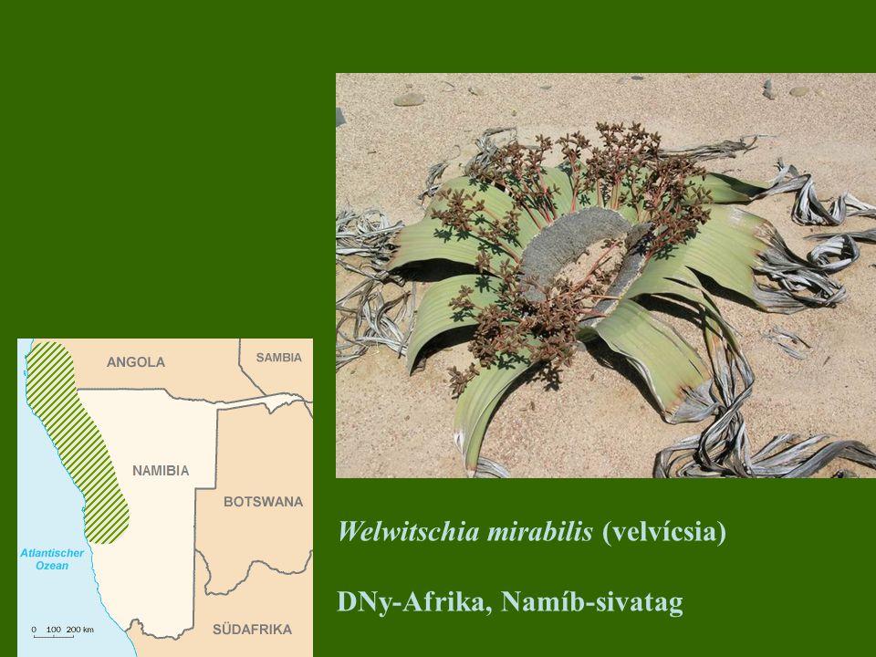 Welwitschia mirabilis (velvícsia)