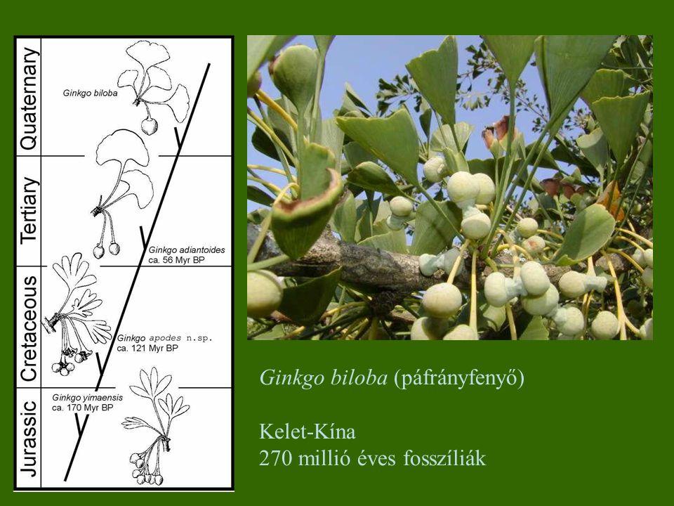 Ginkgo biloba (páfrányfenyő)