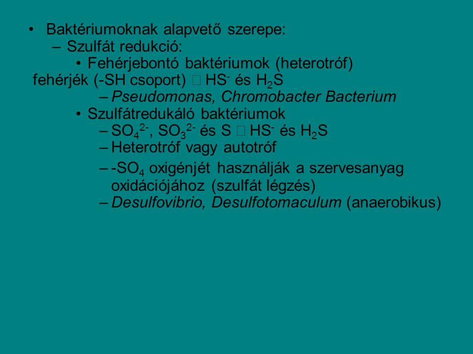 Baktériumoknak alapvető szerepe: