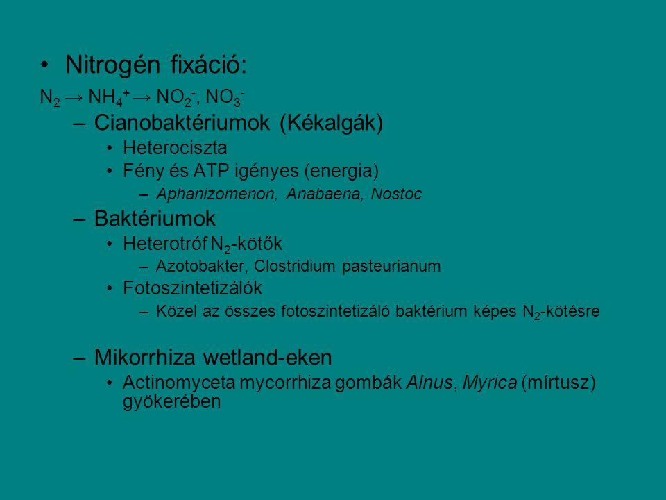 Nitrogén fixáció: Cianobaktériumok (Kékalgák) Baktériumok