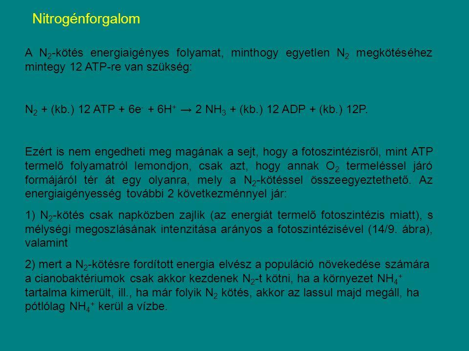 Nitrogénforgalom A N2-kötés energiaigényes folyamat, minthogy egyetlen N2 megkötéséhez mintegy 12 ATP-re van szükség: