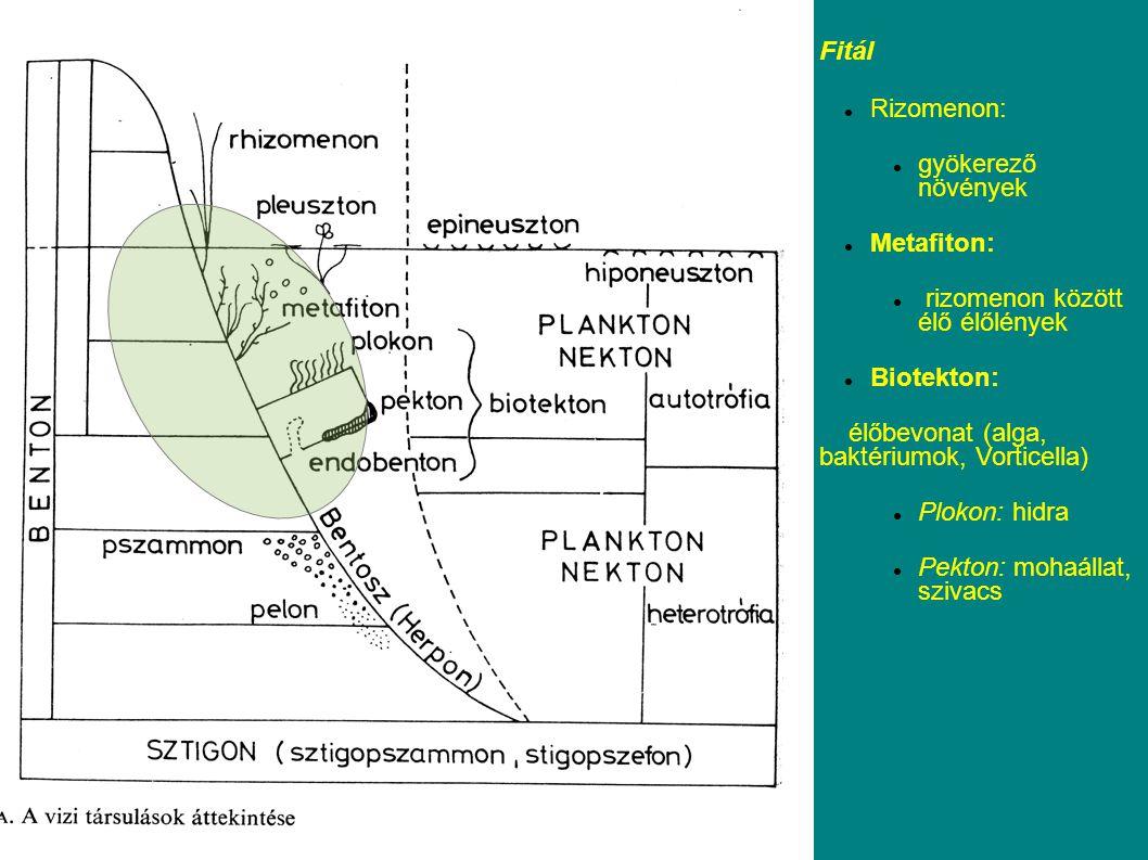Fitál Rizomenon: gyökerező növények. Metafiton: rizomenon között élő élőlények. Biotekton: élőbevonat (alga, baktériumok, Vorticella)
